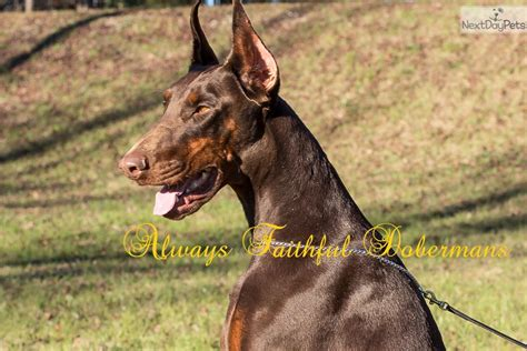 Afd Puppies: Doberman Pinscher puppy for sale near Albany