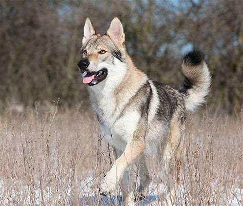 Dog Breeds That Look Like Coyotes (Pictures & Facts