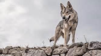 Dogs That Look Like Wolves | 22 Dogs That Have A Lupine Look