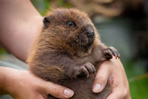 Watch an adorable baby beaver drink from a bottle