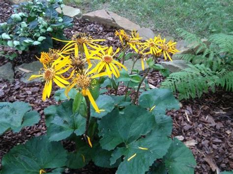 Ligularia or Leopard Plant Shines in the Shade (Harvey