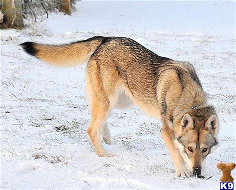 """Other """"wolfy-looking"""" (uncommon) Dog Breeds - Page 1"""